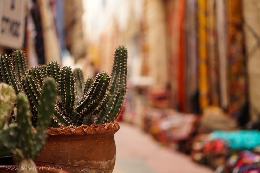 Kaktus in Essaouira
