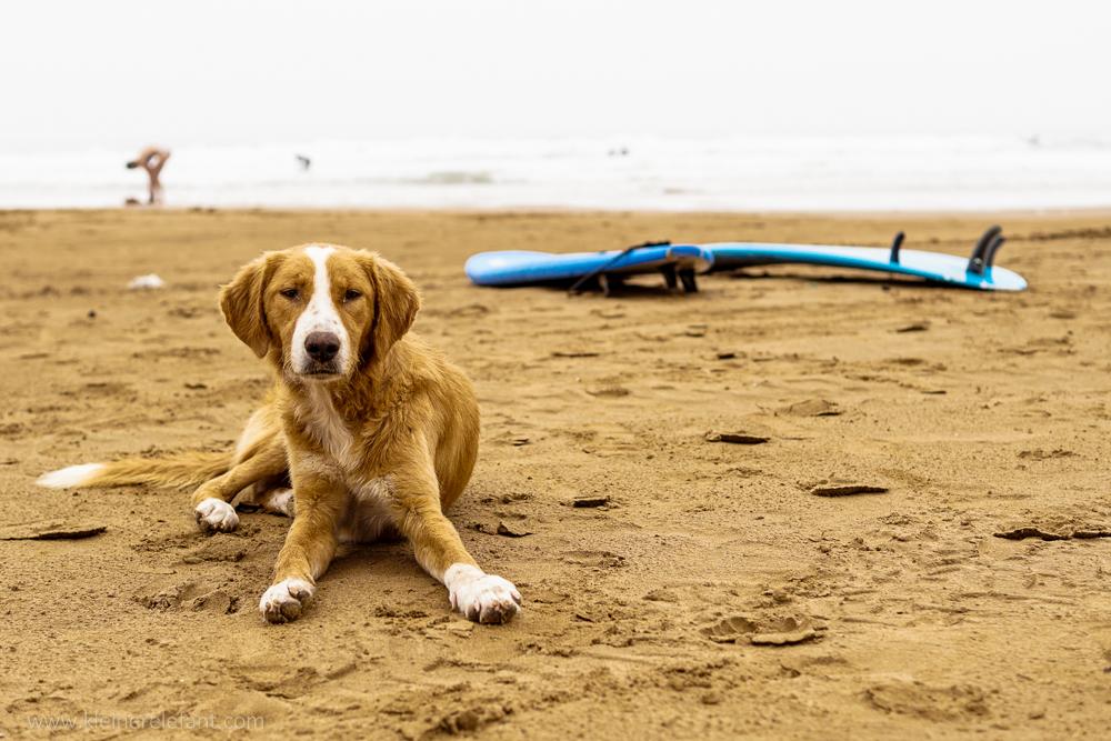 Hund und Surfboard in Taghazout