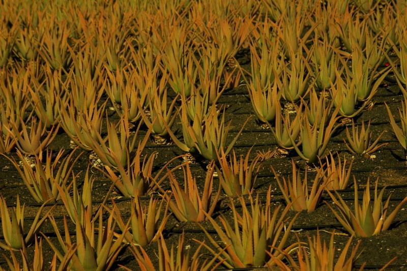 Aloe Vera Felder findet man öfter auf Lanzarote. In der Nähe bfeinden sich oft Shops, in denen man tolle Aloe Vera Produkte erstehen kann.