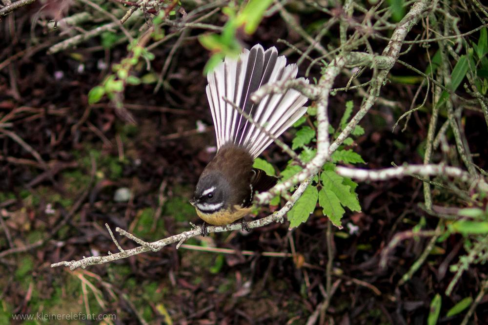 Neuseelandfächerschwanz im Mount Egmont Nationalpark