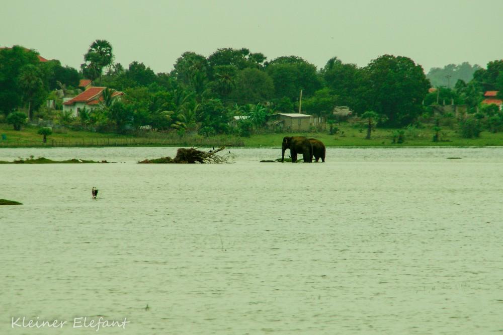 Elefanten in Lagune von Arugam Bay