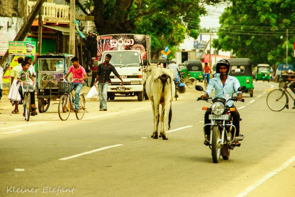 Rollrefahrer und Kuh in Pottuvil