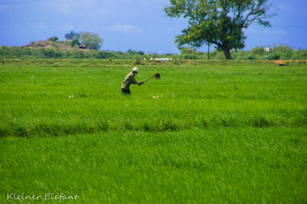 Reisfarmer bei der Arbeit