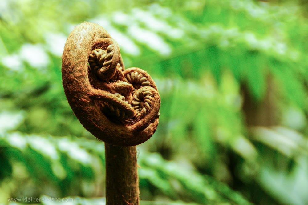 Eine Art Farn im Sinharaja Regenwald.