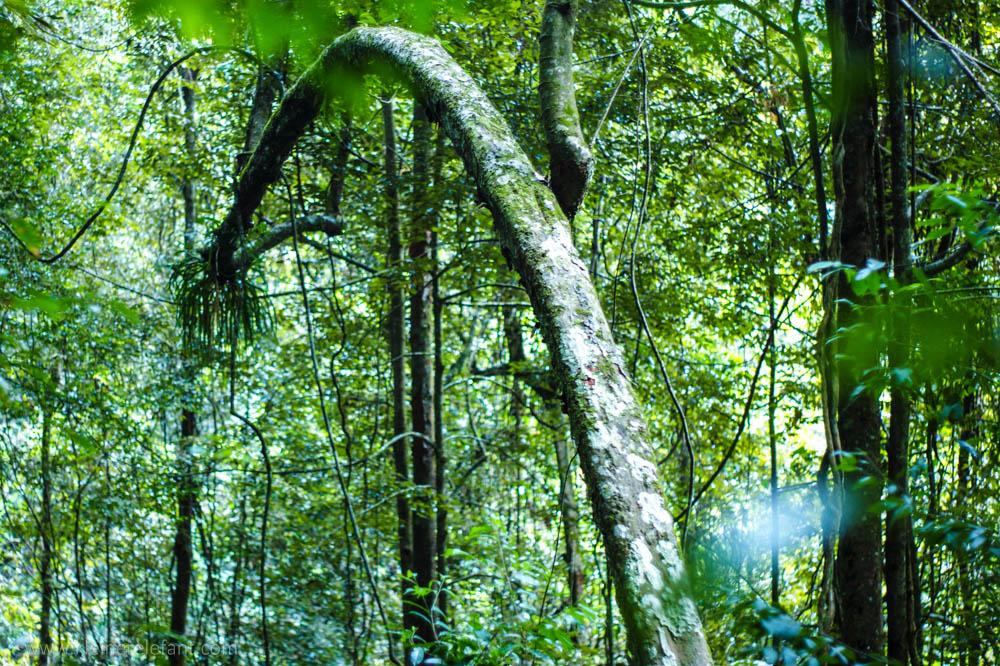 Baum Sinharaja