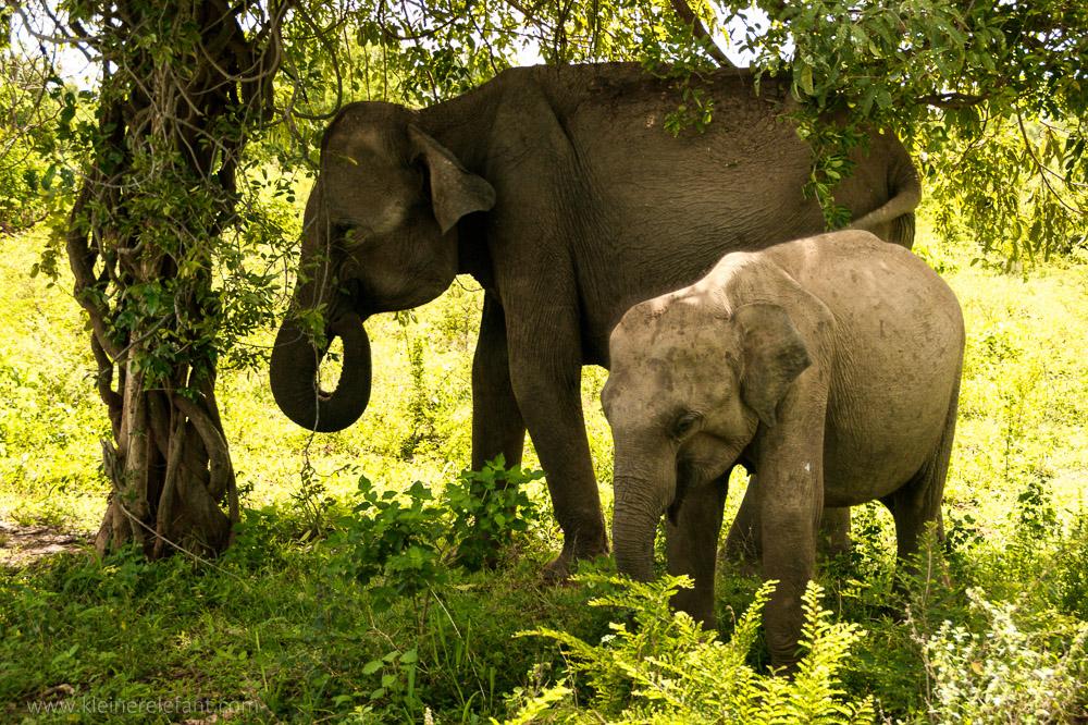 Elefanten im Uda Walawe Nationalpark