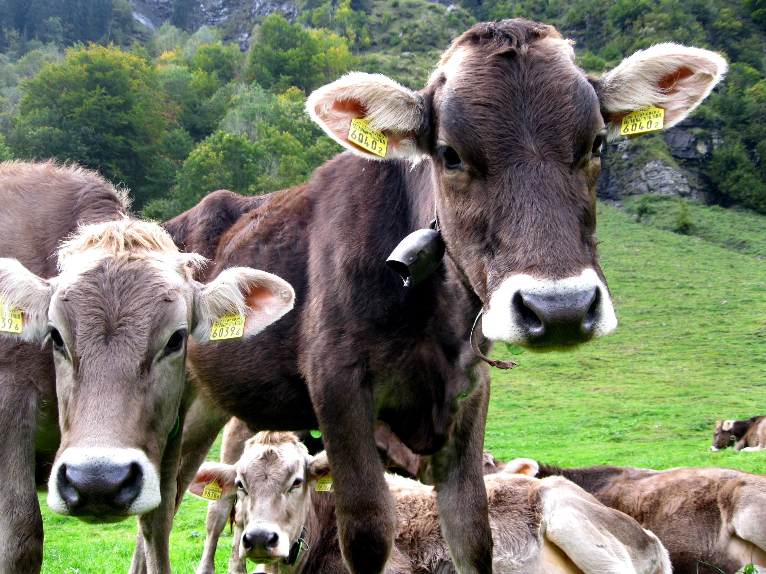 Kühe in Engelberg