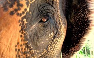 weiser elefant